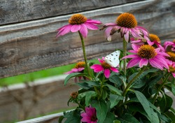 A cluster of purple coneflowers on a Missouri backyard deck attracts a single checkered white butterfly on a warm sunshining day. Bokeh effect.