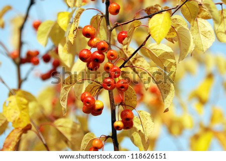 A cluster of red crab apples among the yellow autumn foliage