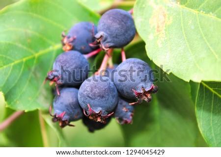A cluster of ripe saskatoon berries hanging between leaves #1294045429