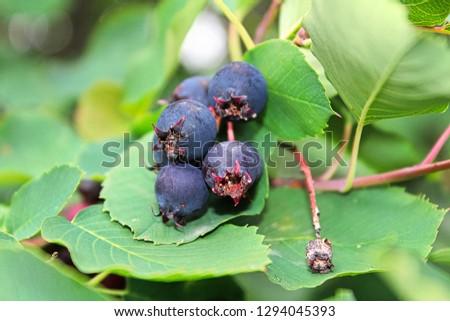 A cluster of ripe saskatoon berries hanging in summer #1294045393