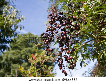A cluster of Ripening Elderberries in late summer early autumn.