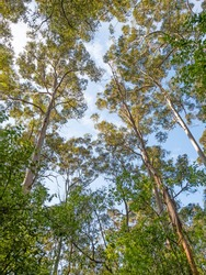 A cluster of trees reaching for the sky in the forest at Donnelly River in south-western Australia.