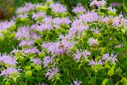 A cluster of wild bergamot flowers along the Bluewater River Walk Trail, in Port Huron, Michigan.