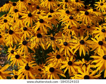 Photo of  a cluster of yellow coreopsis