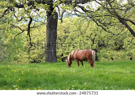 A Clydesdale horse in a wooded spring meadow.