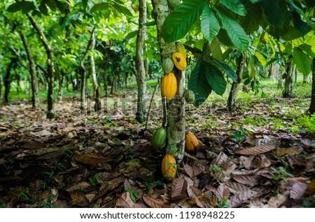 A cocoa tree with yellow pods at cocoa plantation, Akim Tafo, Eastern Region, Ghana.