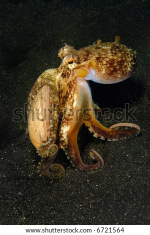 A coconut octopus walks across the bottom of the sea carrying its shell that it uses for protection after it buries itself under the sand.