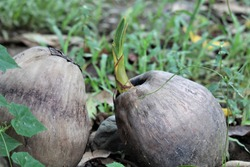 A coconut seedling begins to grow. Coconuts are an important food source and crop in the Philippines.