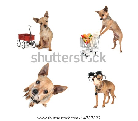 a collage of chihuahuas doing various things on a white background