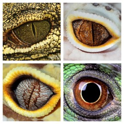 a collage of the eyes of four different reptiles, a green iguana, a crocodile and a leopard geckos