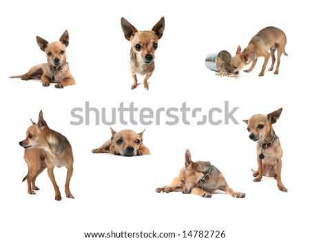 a collage of tiny chihuahuas in a group on white