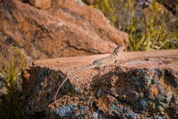 A Collared Lizard in the Wichita Mountains