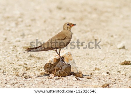 A Collared Pratincole (Glareola pratincola) sitting on some cow dung!