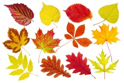 A collection of beautiful colorful autumn leaves of deciduous trees. Maple, linden, oak, red oak, chestnut, ash, elm, poplar. Isolated on white.