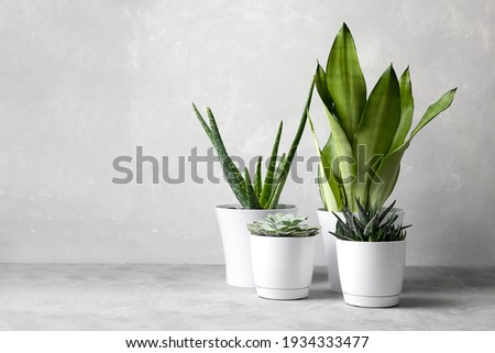 A collection of different house plants: cacti, succulents in different pots. Echeveria, haworthia, aloe vera, sansevieria