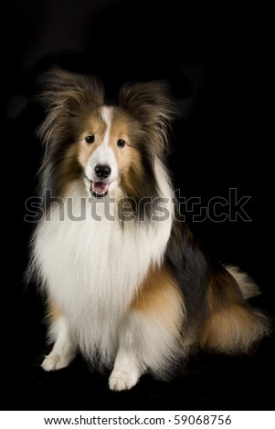 a collie dog on a black background