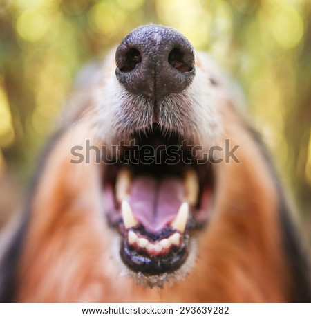 a collie posing for the camera with a super close up of his nose and his mouth open (SHALLOW DOF)