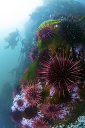 A colony of purple urchins sitting on a rock outcropping.