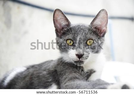 A color photo of a beautiful grey stray cat staring at the camera with his vivid yellow green eyes.