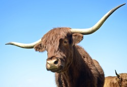 A color photo of two lscottish long horned bull's against a vivid blue sky.