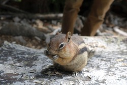 A Colorado Chipmunk