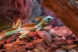 A colored chameleon lizard warms up under a lamp at the zoo.