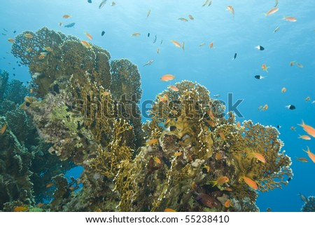 A colorful and vibrant tropical coral reef scene with Net fire coral (Millepora dichotoma). Ras Katy, Sharm el Sheikh, Red Sea, Egypt.