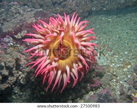 A colorful anemone photographed down at sixty feet deep in Southern British Columbia.
