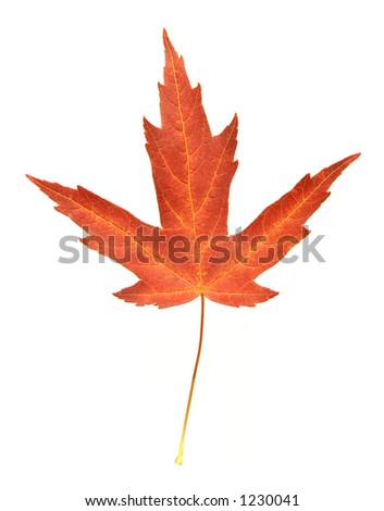 A colorful autumn leaf from a Maple tree.