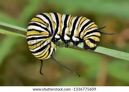 A colorful banded Monarch caterpillar (Danaus plexippus) curled around a plant stem during late Fall in Houston, TX. #1336775609