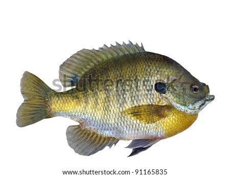 A colorful Bluegill Sunfish (Lepomis macrochirus) on a white background.