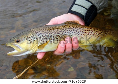 A colorful Brown Trout, being released into a river by a fly fisherman