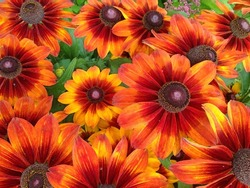 A colorful display of bright orange and red Rudbeckia Summerina cone flowers