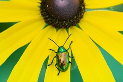 A colorful Dogbane Beetle on the petal of a Black-eyed Susan wildflower.