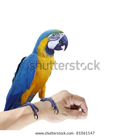 A colorful exotic Blue and Yellow Macaw which is scientifically known as Ara ararauna parrot perching on a hand, isolated against white.