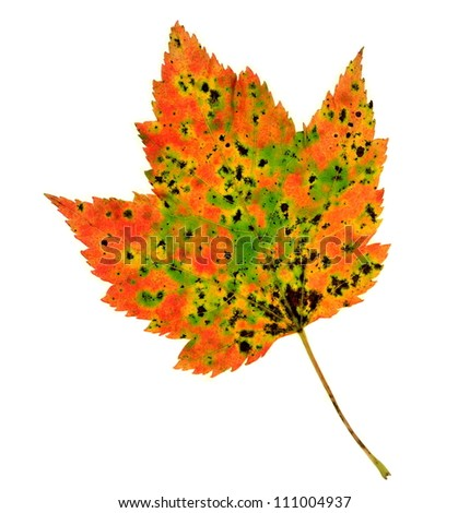 A colorful fall Red Maple leaf (Acer rubrum) isolated on a white background.