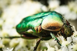 A colorful goldsmith beetle on a flower looking for food