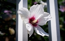 A colorful hibiscus flower on the background of a white bar.