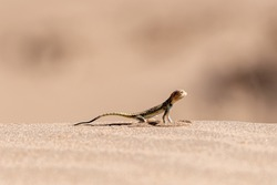 a colorful lizard standing on sands  in dasht e lut desert in iran