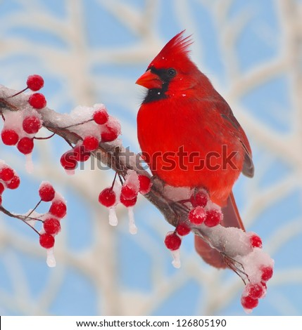 A colorful male Northern Cardinal (Cardinalis cardinalis) on a snow- covered branch full of bright red berries.