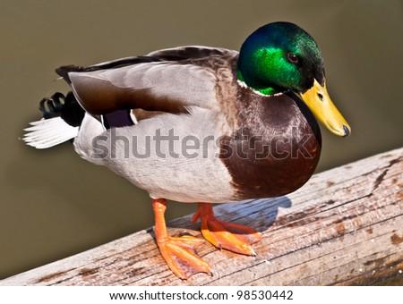 A colorful  male of mallard duck.