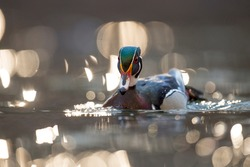 A colorful male Wood Duck swimming on sparkling water in the early morning sunlight.