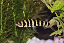 A colorful of banded leporinus (black-banded leporinus) in freshwater aquarium. Leporinus fasciatus is a species of freshwater characin fish in the family Anostomidae.