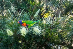 A  colorful parrot - one of the most common birds of Australia - sitting on a branch of a tree in a public park in Sydney, New South Wales during a hot day in summer.