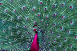 A colorful peacock.