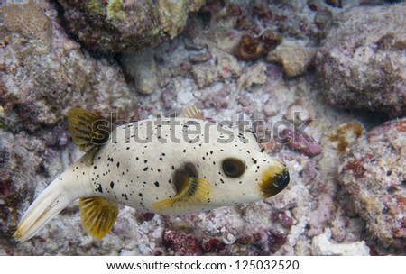 A colorful puffer fish while scuba diving in Maldives
