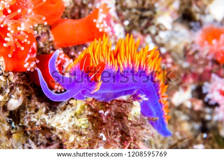 A colorful purple nudibranch called a Spanish shawl crawls across a reef in California's Channel Islands in search of food.  Shot in the cold water of California's Channel Islands.