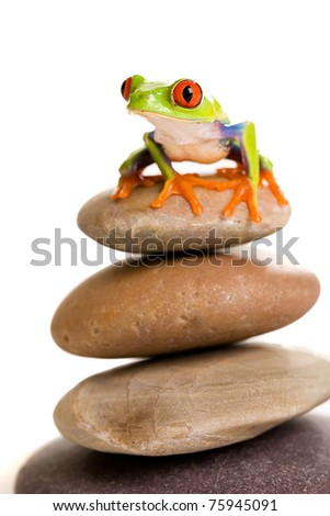 a colorful red eyed tree frog balancing on rocks