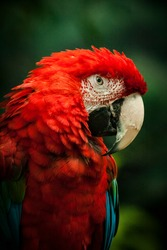 A colorful red Maccaw parrot posing for the camera at Brookfield Zoo. He eyes me suspisiously.