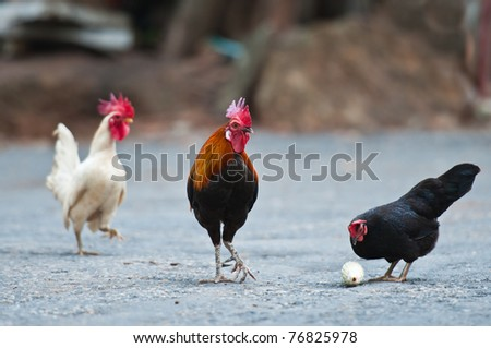 A colorful rooster with his family